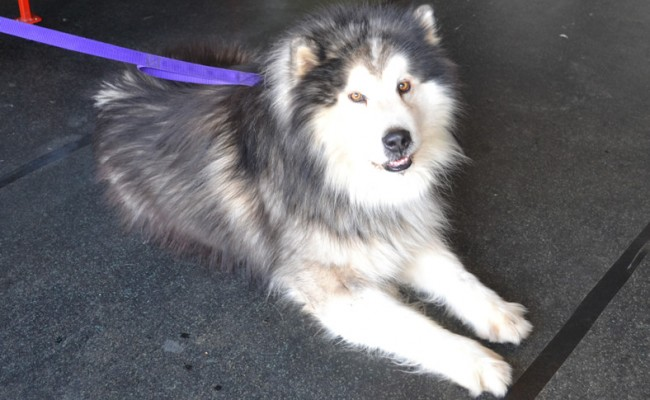 Before – Goliath is an Alaskan Malamute. He had a 3 and a half hour groom. He had his fur raked, underneath and bottom clipped, legs trimmed and a wash n blowdry.  Pampered by Kylies cat Grooming services Also All Size Dogs.