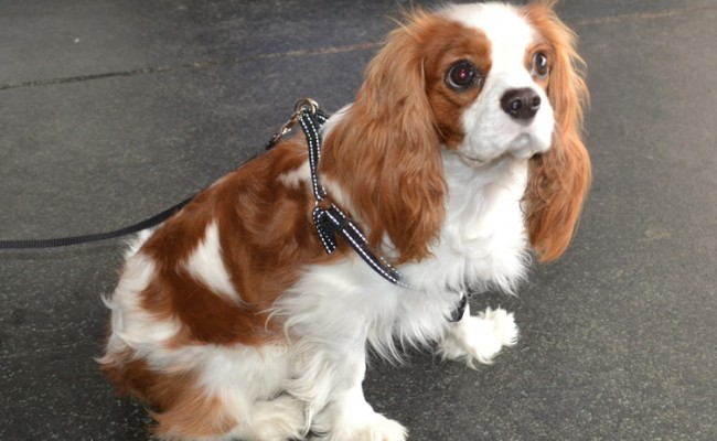 Jack is a King Charles Cavalier. He had his nails clipped, a fur comb clip, ears cleaned and a wash n blow-dry.  Pampered by Kylies cat Grooming services Also All Size Dogs.