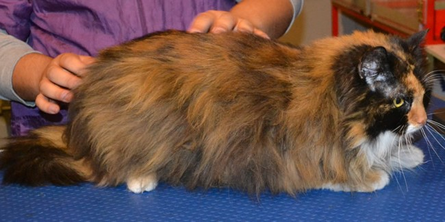 Jersey is a Long Hair Domestic. She had her matted fur shaved down, nails clipped and ears cleaned.  Pampered by Kylies Cat Grooming Services Also All Size Dogs.