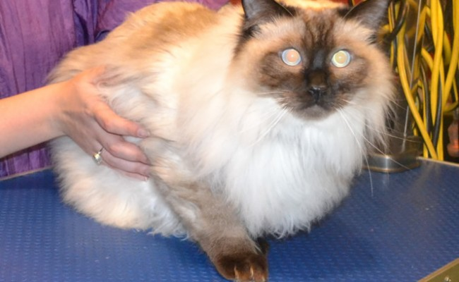 Winston is a Ragdoll. He had a medium length comb clip. nails clipped, ears cleaned and Black Softpaw nails caps.  Pampered by Kylies Cat Grooming Services Also All Size Dogs.