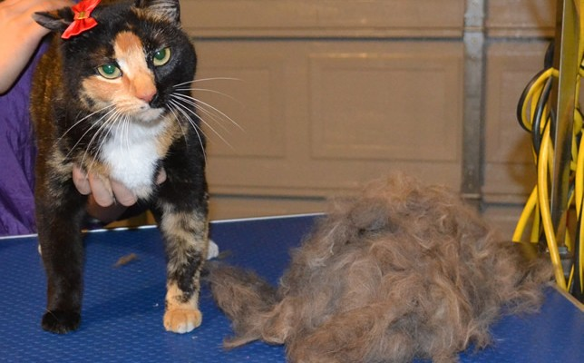 Tilly is a Short hair Domestic.  She had her nails clipped and her fur raked.  Remember, short hair cats also need a brush out too.  Pampered by Kylies Cat Grooming Services Also All Size Dogs.