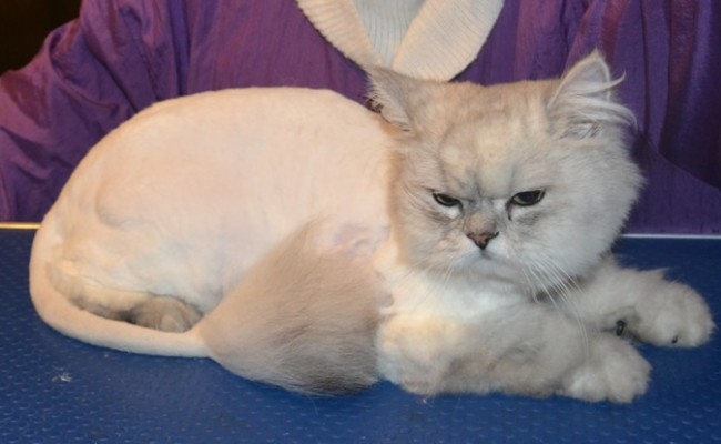 Thor is a 2 year old Chinchilla with a Heart Condition.  He had his matted fur shave off, nails clipped, eyes cleaned and Black Softpaw Nail Caps.  Pampered by Kylies Cat Grooming Services Also All Size Dogs.
