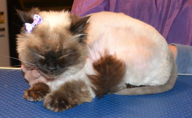 Angel is a Ragdoll. She had her matted fur shaved off, nails clipped, ears cleaned, wash n blow-dry and Frontline 1 month Flea Applicator.  Pampered by Kylies cat Grooming services Also All Size Dogs.