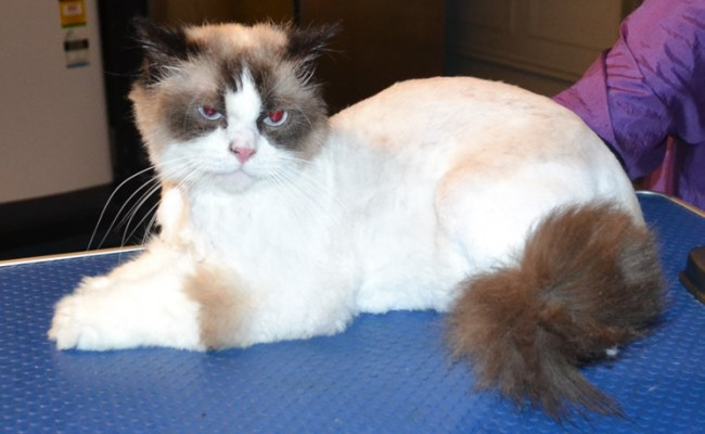Bailey is a Ragdoll. He had his matted fur shaved, nails clipped, eyes and ears cleaned and some Blue Softpaw nails caps put on.  Pampered by Kylies cat Grooming services Also All Size Dogs.