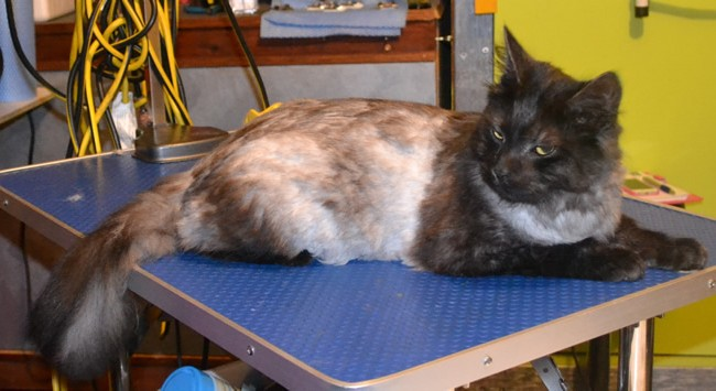 Frank is a Long hair Tabby.  He had a comb clip, nails clipped and ears cleaned.  Pampered by Kylies Cat Grooming Services Also All Size Dogs.