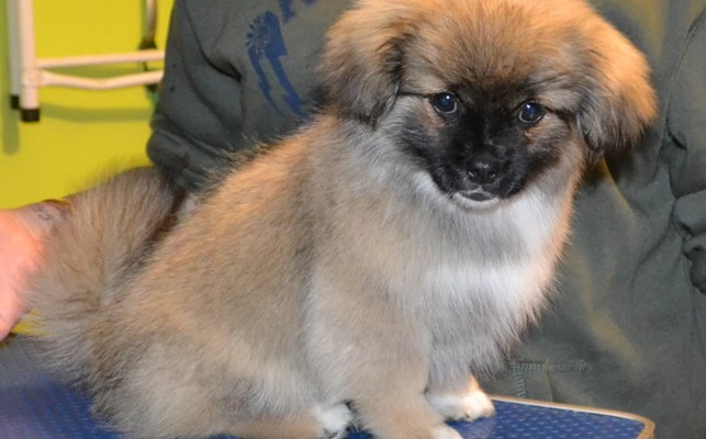 Bear is a 3 Month Old Tibetan Spaniel x Papillon.  He had his nails clipped, Bottom clipped and a wash n blow-dry.  Pampered by Kylies Cat Grooming services Also All Size Dogs.