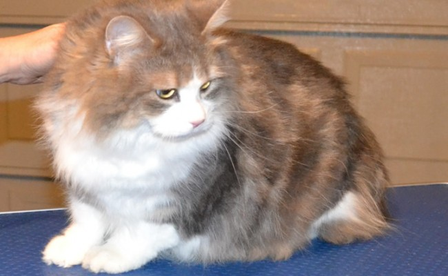 Minx is a Long Hair Moggy. She had her fur shaved, nails clipped and a wash n blow-dry.  Pampered by Kylies Cat Grooming Services Also All Size Dogs.