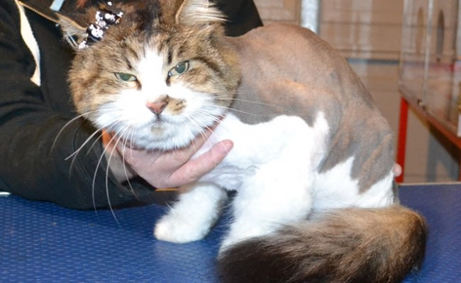 Stalin is a Long Hair Domestic.  She had her matted fur shaved off, nails clipped, ears cleaned and a wash n blow-dry.  Pampered by Kylies Cat Grooming Services Also All Size Dogs.