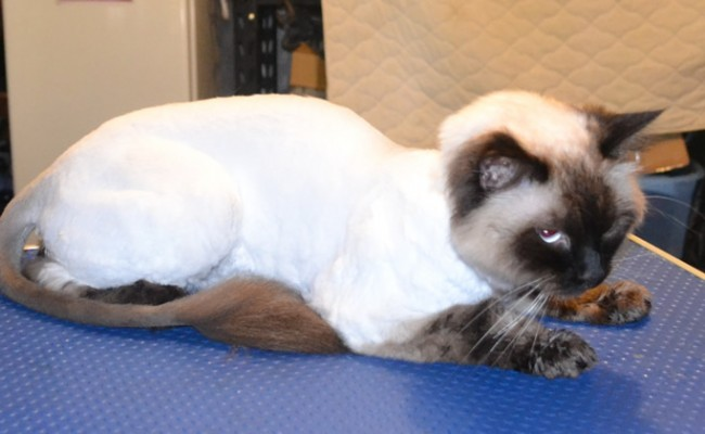 Winston is a Ragdoll. He had his matted fur shaved off, nails clipped, ears cleaned and a wash n blow-dry.  Pampered by Kylies Cat Grooming Services Also All Size Dogs.