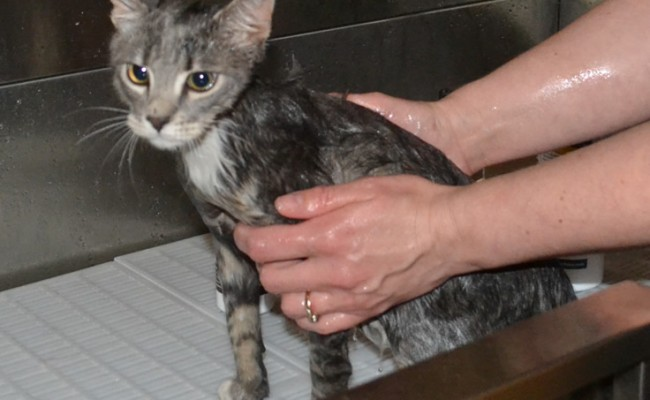 Tiger is a 3 Month Old Short Hair Domestic.  He had his nails clipped, wash n blow-dry and some Black Softpaw nail Caps.  Pampered by Kylies Cat Grooming Services Also All Size Dogs.