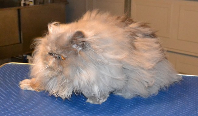 Evey is a 10 month old Persian. She had her matted fur shaved down, nails clipped, ears and eyes cleaned and a wash n blow-dry.  Pampered by Kylies Cat Grooming Services Also All Size Dogs.