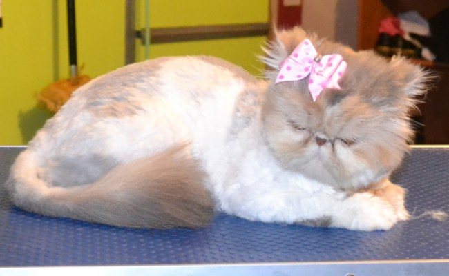 Scarlett is a Persian. She had a Comb clip, nails clipped and ears and eyes cleaned. Pampered by Kylies Cat Grooming Services Also All Size Dogs.