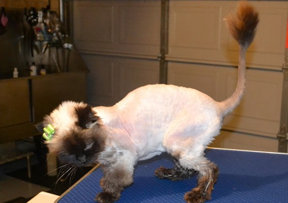 Lilly is a Ragdoll. She had her matted fur shaved off, nails clipped, ears cleaned and a wash n blow-dry. She is wearing her new bumble bee outfit she got from me. Pampered by Kylies Cat Grooming Services Also All Size Dogs.
