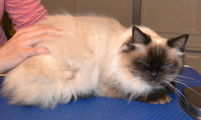 Tinkerbell is a Ragdoll. She had her fur shaved to get some matting out, nails clipped and ears cleaned.  Pampered by Kylies Cat Grooming Services Also All Size Dogs.
