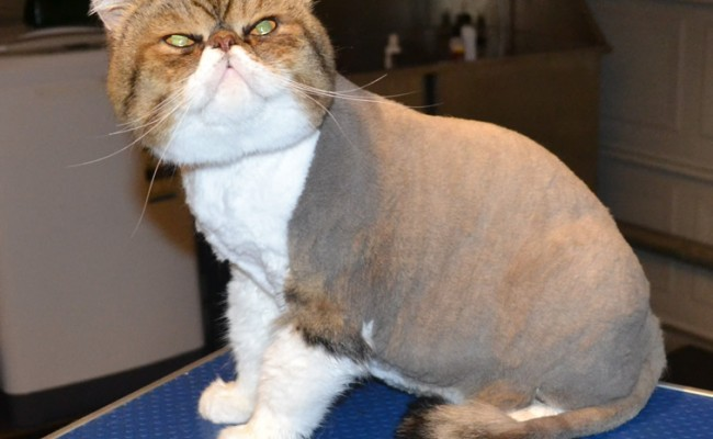 Thor is an Exotic Persian. He had his triple fur coat shaved off, nails clipped, eyes and ears cleaned, wash n blow-dry and is sporting a little Mohawk. Pampered by Kylies cat Grooming services Also All Size Dogs.