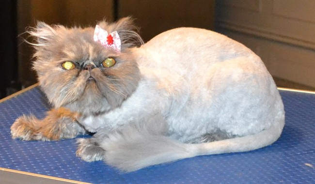 Evie is a 10 month old Persian. She had her matted fur shaved down, nails clipped, ears and eyes cleaned and a wash n blow-dry.  Pampered by Kylies Cat Grooming Services Also All Size Dogs.