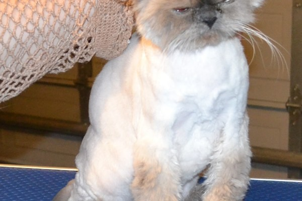 Mia is a Himalayan. She had her Fur shaved, nails clipped, ears cleaned, wash n blow-dry and Hot Pink Softpaw Nail Caps.  Pampered by Kylies Cat Grooming services Also All Size Dogs.