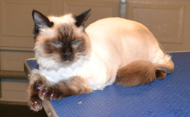 Jiggie is a Ragdoll. He had his fur shaved, ears cleaned, wash n blow-dry, nails clipped and some Purple Softpaw Nail Caps. Pampered by Kylies Cat Grooming Services Also All Size Dogs.