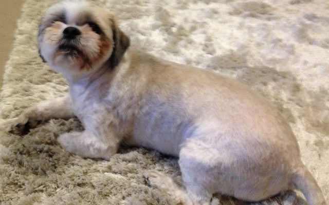 Awhina the Shih Tzu x Maltese Terrier came for her full groom, which was fur shaved, nails clipping, ear and eye cleaning and a wash n blowdry.  Pampered by Kylies Cat Grooming Services Also All Size Dogs.