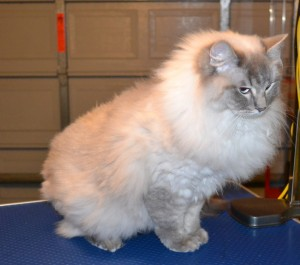 Astro is a Ragdoll. He had his fur shaved down, nails clipped, ears and eyes cleaned, wash n blow-dry and a full set of Glitter Blue Softpaw nail caps. Pampered by Kylies Cat grooming Services Also All Size Dogs.