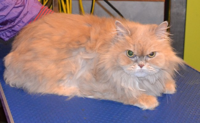 Zulu is a Persian.  She had her matted fur shaved off, nails clipped, ears cleaned, full set of Red Softpaw nail caps and is also wearing one of our Bunny coats.  Pampered by Kylies Cat Grooming services Also All Size Dogs.