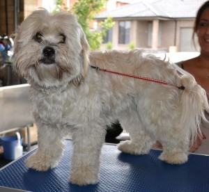 Lucy is a Maltese x Shih Tzu. She had her fur clipped down, nails clipped, ears and eyes cleaned and a wash n blow-dry. Pampered by Kylies Cat Grooming Services Also All Size Dogs.