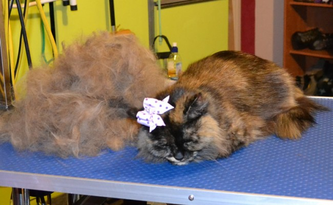 Miss Kitty is a Medium Hair Domestic. She had a brush out, nails clipped, ears cleaned, bum and belly clipped, a wash n blow -dry and  Frontline 1 Month flea applicator. Pampered by Kylies cat Grooming services Also All Size Dogs.