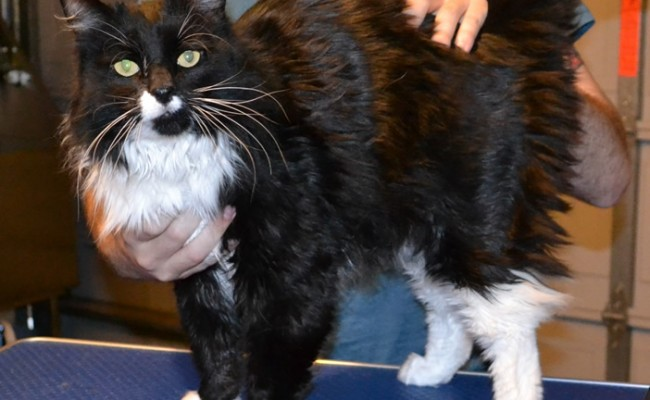 Paris is a Mainecoon.  He had his fur shaved down, mails clipped and ears and eyes cleaned.  Pampered by Kylies Cat Grooming Services Also All Size Dogs.