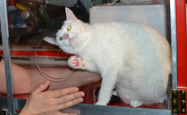 Lilly is a Short hair Domestic.  She had her fur raked, nails clipped, ears cleaned,a wash n blow dry and Hot Pink Softpaw nail caps.  She did so well in The cat/vac Dryer.  Pampered by Kylies cat Grooming services Also All Size Dogs.
