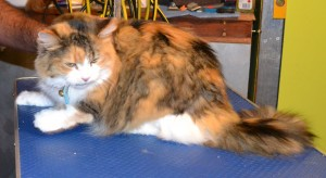 Teezer is a Medium hair Tabby. She had her matted fur shaved down, wash n blow-dry, nails clipped and her ears cleaned. Pampered by Kylies Cat Grooming Services Also All Size Dogs.