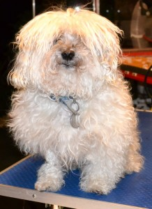 Winston is a Toy poodle x Shih Tzu, he is also a diabetic where he has to have insulin twice a day. He had his fur clipped, nails clipped, ears and eyes cleaned and a wash n blow-dry. Pampered by Kylies Cat Grooming services Also All Size Dogs.
