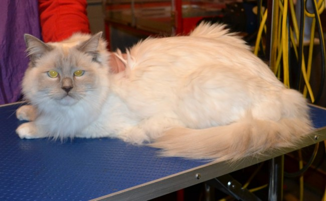Before – Alonso is a Ragdoll.  He had his fur raked, belly, bum and feet pads clipped, nails clipped, ears cleaned and a wash n blowdry.  Pampered by Kylies cat Grooming services Also All Size Dogs.
