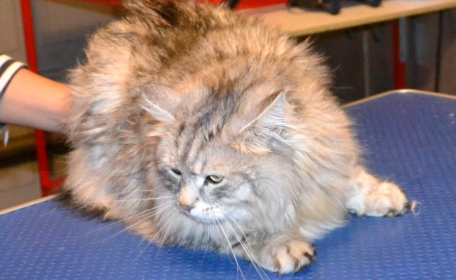 Max is a Siberian Forest Cat.  He had his fur shaved down, nails clipped, and ears cleaned.  Pampered by Kylies Cat Grooming Services Also All Size Dogs.
