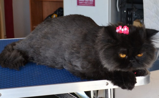 Coco Chanel is a Persian. She had a comb clip, nails clipped, ears cleaned, wash n blow dry and Hot Pink Softpaw nails caps.  Pampered by Kylies Cat Grooming Services Also All Size Dogs.