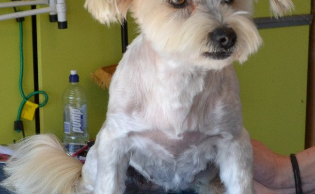 Elli is a Chihuahua x Maltese.  She had her matted fur shaved, nails clipped, ears and eyes cleaned and a wash n blow-dry.  Pampered by Kylies Cat Grooming Services Also All Size Dogs.