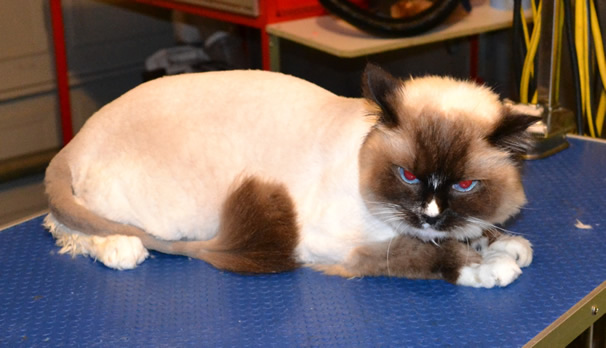 Bubi is a Ragdoll. He had his nails clipped, ears cleaned, fur shaved, wash n blow-dry and a full set of Black Softpaw nail Caps. Pampered by Kylies Cat Grooming Services Also All size Dogs.