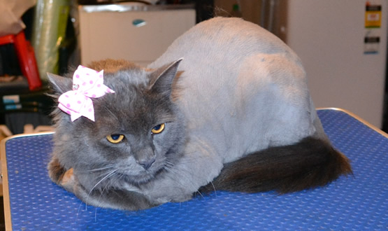 Mica is a Russian Blue,  She had her nails clipped, and fur clipped. Pampered by Kylies Cat Grooming Services Also All Size Dogs.