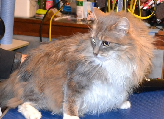 Izzabell is a Long hair Domestic.  She had her nails clipped, matted fur shaved off, and ears cleaned.  Pampered by Kylies Cat Grooming Services Also All Size Dogs.
