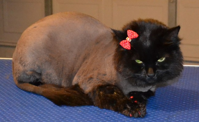 Squish is a Short to medium hair Domestic.  She had her fur shaved down, nails clipped, ears cleaned, wash n blow dry and Red Softpaw nail Caps.  Pampered by Kylies Cat grooming Services Also All Size Dogs.