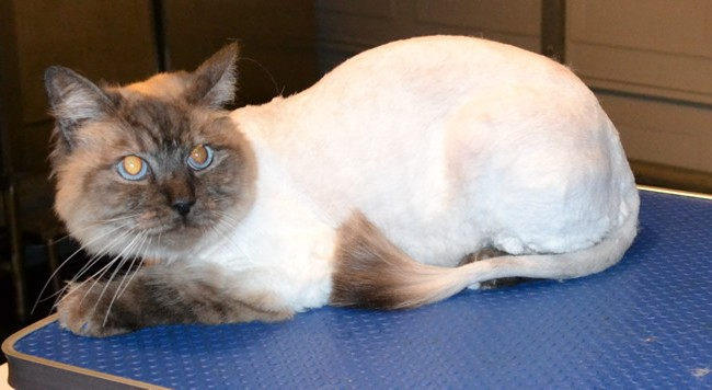 Dexter is a Ragdoll. He had his nails clipped, ears cleaned, fur shaved and Blue Softpaw nail Caps. Pampered by Kylies Cat Grooming Services Also All size Dogs.