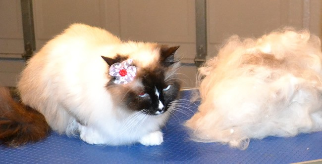 Bella is a Ragdoll. She had her nails clipped, fur raked, ears cleaned and a wash n blow dry. Pampered by Kylies cat Grooming services Also all Size Dogs.