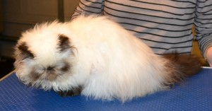 Teiki is a Himalayan Persian. She had a brush out, belly and bum clipped, nails clipped and a wash n blow dry. Pampered by Kylies Cat grooming Services Also All Size Dogs.