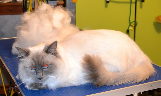 Orion is a Ragdoll.  He had his fur raked,bum and feet pads clipped, nails clipped, ears cleaned, a wash n blowdry and Glitter Blue Softpaw nail caps.  Pampered by Kylies cat Grooming services Also All Size Dogs.