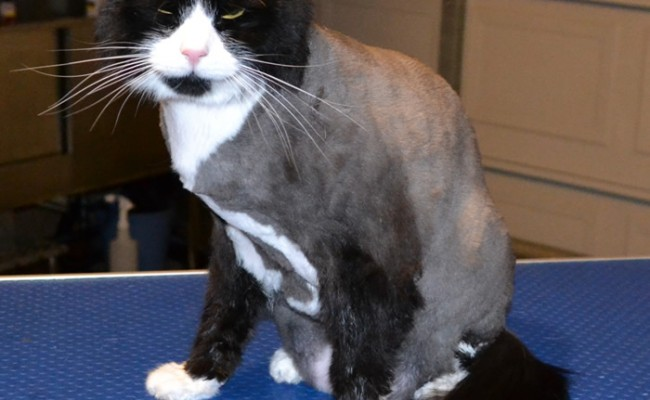 Xanie is a Medium Hair Domestic.  He had his fur shaved down, nails clipped and a wash n blow-dry.  Pampered by Kylies Cat Grooming services Also All Size Dogs.