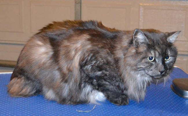 Pepper is a Medium Hair Domestic. She had her fur shaved down, nails clipped, ears cleaned, wash n blow-dry and Frontline 1 month flea applicator.  Pampered by Kylies cat Grooming services Also All Size Dogs.