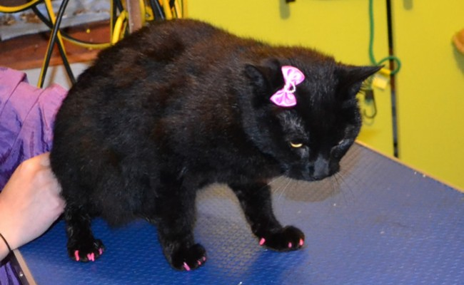Cheeky is a Short Hair Domestic.  She had her nails clipped, ears cleaned, a wash n blow dry and a full set of Purple and Hot Pink Softpaw Nail Caps.  Pampered by Kylies Cat Grooming Services Also All Size Dogs.
