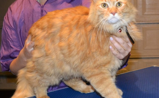 Tim is a Long Hair Domestic. He had his nails clipped, fur shaved, ears cleaned and a wash n blow dry. Pampered by Kylies cat Grooming services Also all Size Dogs.