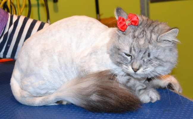 Bella is a Siberian Forest Cat.  She had her fur shaved down, nails clipped, and ears cleaned.  Pampered by Kylies Cat Grooming Services Also All Size Dogs.