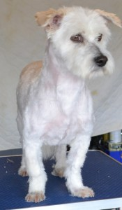 Rocky is a Maltese x Shih Tzu. He had his matted fur shaved down, ears and eyes cleaned, nails clipped and a wash n blow dry. Pampered by Kylies Cat Grooming Services Also All Size Dogs.