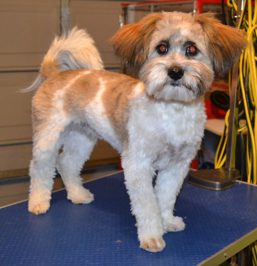 Max is a 6 month old Maltese x Shih Tzu. He had a comb clip. nails clipped, ears and eyes cleaned and a wash n blow dry. Pampered by Kylies Cat grooming Services Also All Size Dogs.